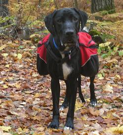 Ace the black lab mix mutt wearing a red dog backpack outside