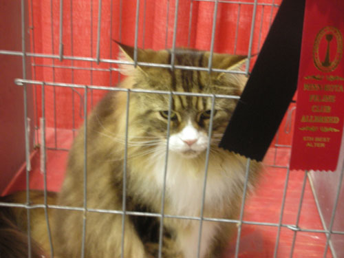 Longhaired tabby cat at cat show
