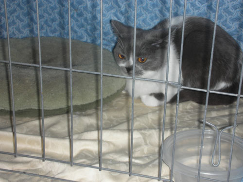 Gray and white cat in cage at cat show