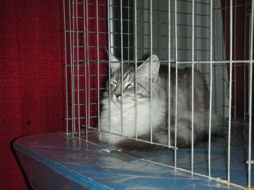 Gray and white longhaired tabby cat in cage at cat show