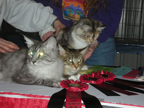 Three longhaired cats win ribbons at cat show