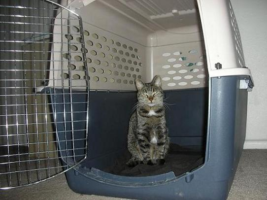Gray tabby cat Scout sitting in a large dog kennel