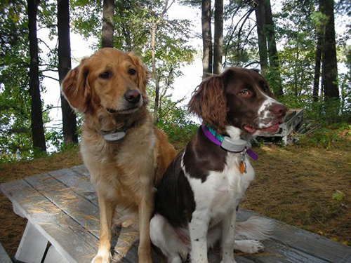 Golden retriever dog and springer spaniel dog sitting on a bench in a back yard
