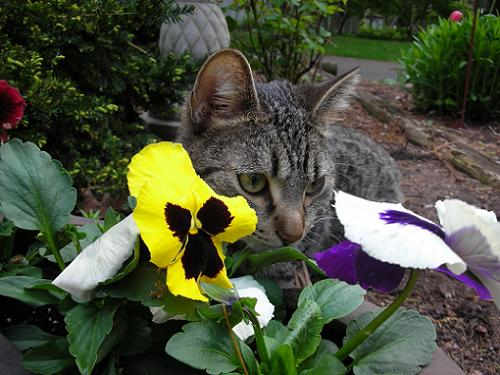 My gray tabby cat Scout hiding behind some flowers in the garden