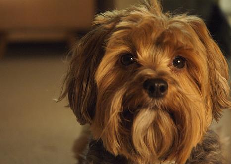 Is my Yorkshire terrier dog jealous if she's barking?