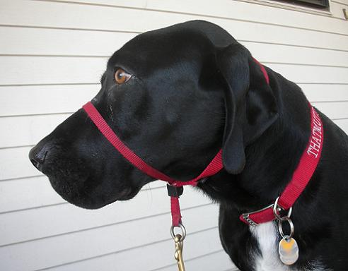Black dog wearing a red Gentle Leader