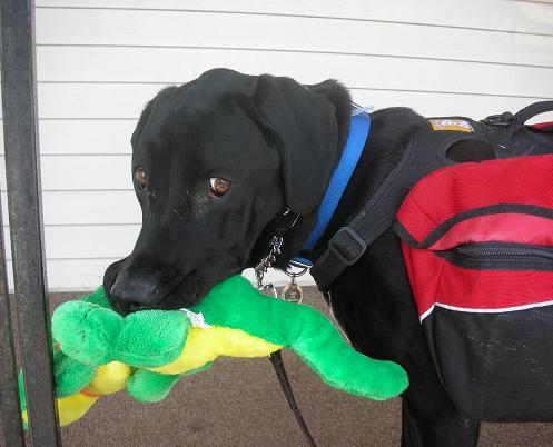 Black lab mix holding a stuffed animal toy