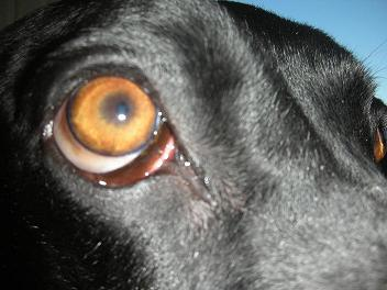 Black lab mix with swollen eyes, called polymyositis or extraocular myositis