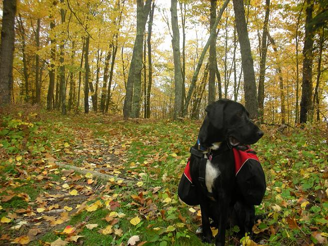 Black lab mix wearing a red dog backpack in the fall leaves at Itasca State Park