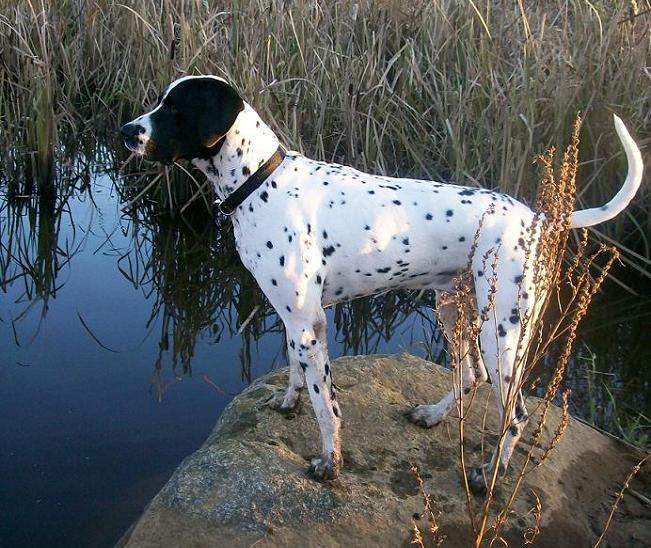 Note: Below is another dalmatian/springer mix named Cooki.