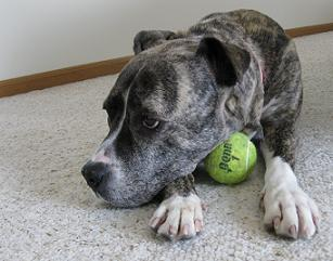 Pitbull with tennis ball