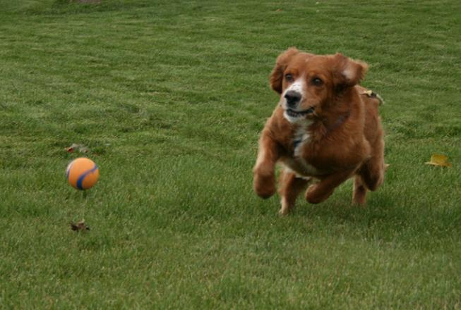 dog-chases-ball
