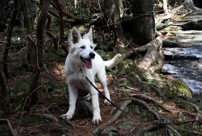 white-shepherd2