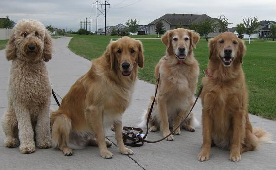 Fargo dog walking business with three golden retrievers and a golden doodle lined up sitting