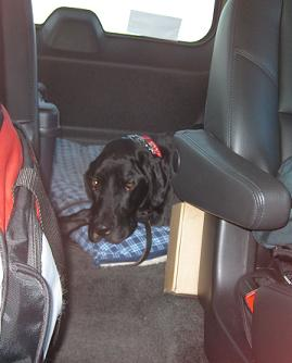 How long can a dog be in a hot car? Black lab mix Ace lying down in the car on his dog bed