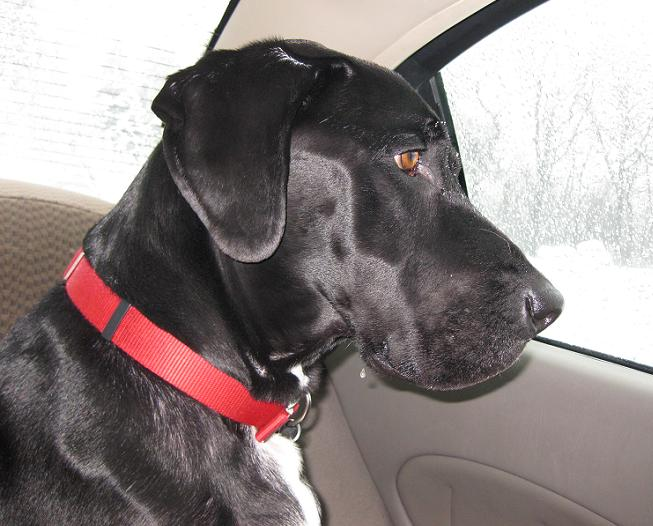 Black lab mix dog left in the car