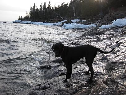 Ace the black lab mix at Lake Superior standing at the shoreline
