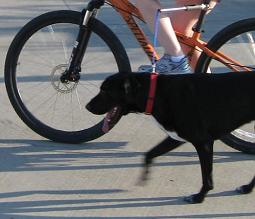 Black dog running next to bike using hands free dog bike leash
