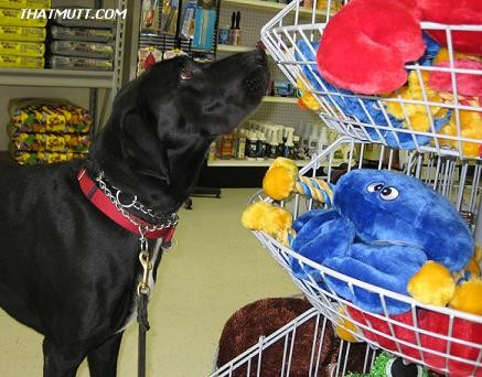 Black lab mix Ace shopping at Natural Pet Center in Fargo