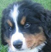 Ranger the Bernese Mountain dog puppy closeup