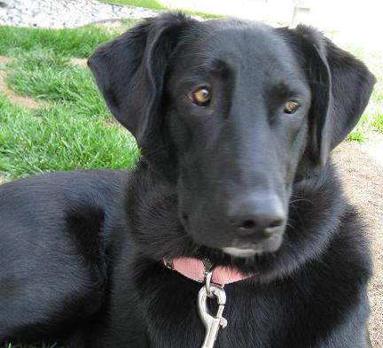 black lab adoption