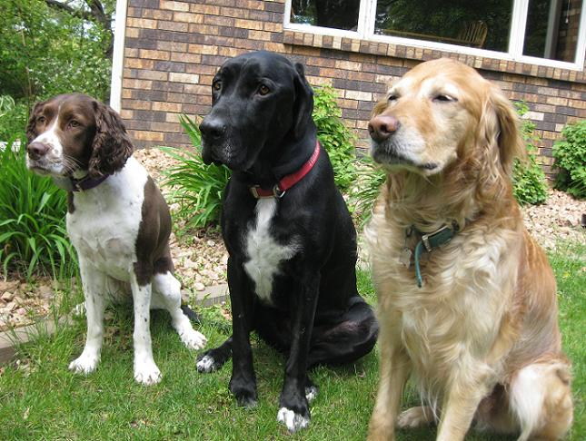 Sophie the springer spaniel, Ace the black lab mix and Elsie the