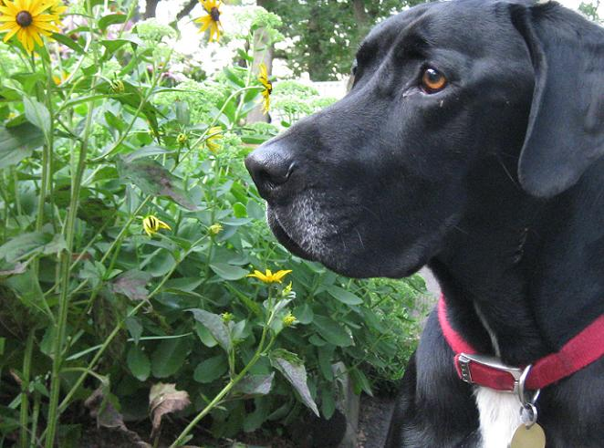 Ace the black lab mix outside in front of yellow flowers