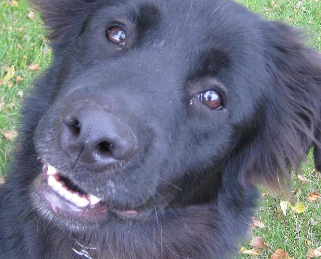 Morgan the Newfoundland mix closeup