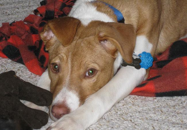 lab jack russell pit mix - photo #7