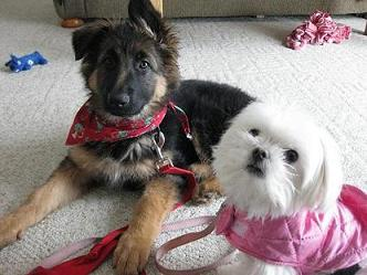 Karli the long haired German shepherd puppy and Maddie the Maltese dog in a pink dog coat