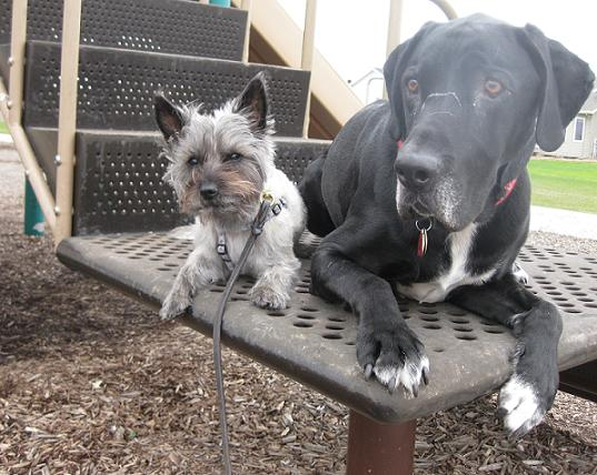 Lucy the silver/brindle cairn terrier yorkie mix and Ace the black lab hound mix on bench together