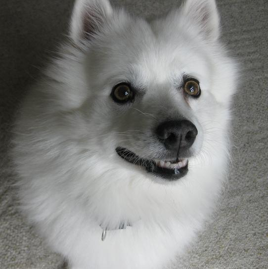 Cosmo the American Eskimo dog is up for adoption in Fargo North Dakota with 4 Luv of Dog Rescue