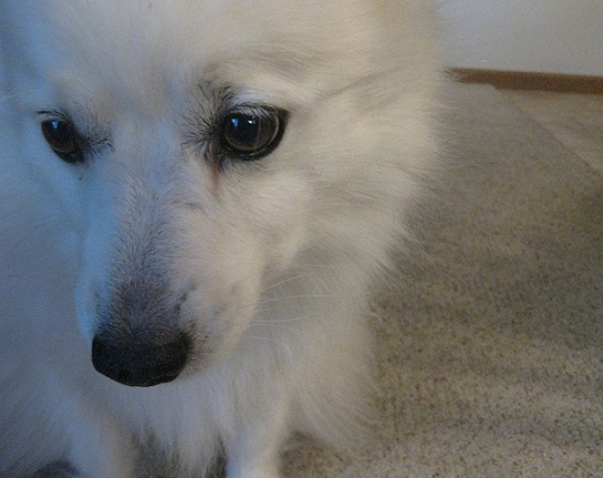 American Eskimo dog Cosmo takes the Canine Good Citizen test by the AKC