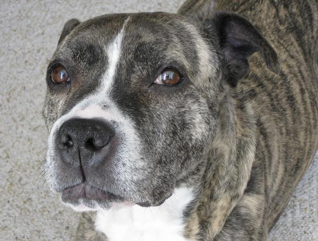 Vixen the brindle and white pitbull type dog cute!
