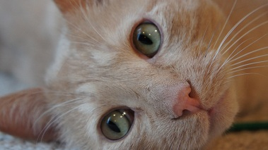 Beamer the creme colored tabby cat closeup