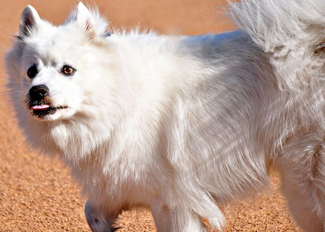 American Eskimo spitz dog named Cosmo playing in the dirt