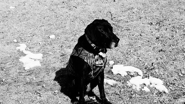 Cute black lab mix sitting outside wearing a vest