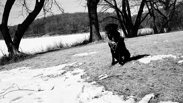 Cute black lab mix sitting outside, black and white photo