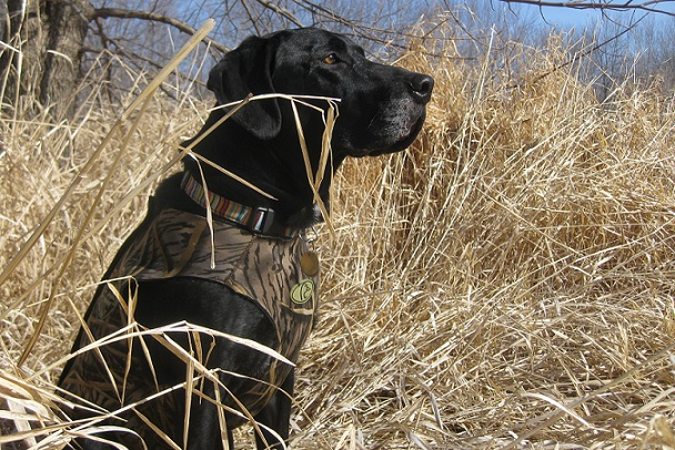 Cute black lab mix sitting in a field wearing camo