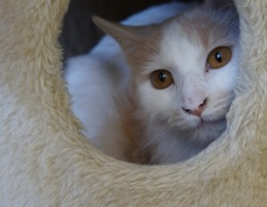 Tan and white cat for adoption in Fargo