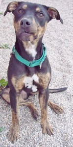 Cute Doberman mix up for adoption 4 Luv of Dog Rescue Fargo