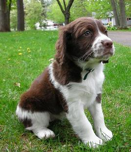 Breed profile: English springer spaniel | ThatMutt com: A