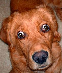 Golden retriever with swollen eyes due to polymyositis or extraocular myositis
