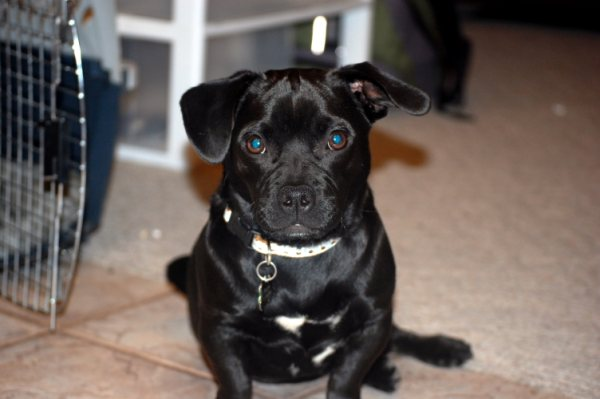 pug and pitbull mix black dogs and cats thatmutt com a dog blog 4501